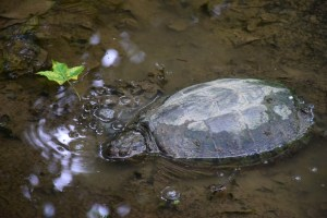 Turtle found in a wet area along the trail between Irish Hill Rd and Brennan Rd