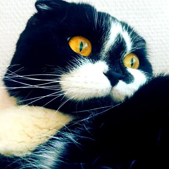 scottish fold cat black white