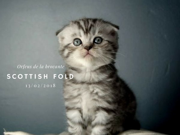 Scottish fold femelle de la brocante