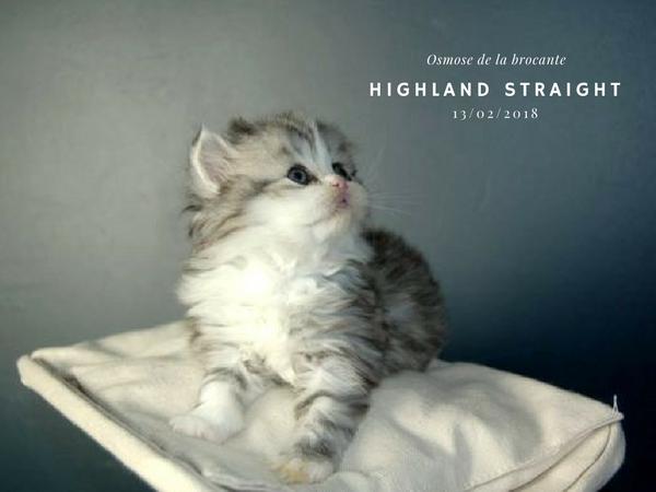 highland Straight femelle