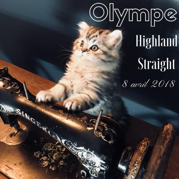 chaton highland straight olympe