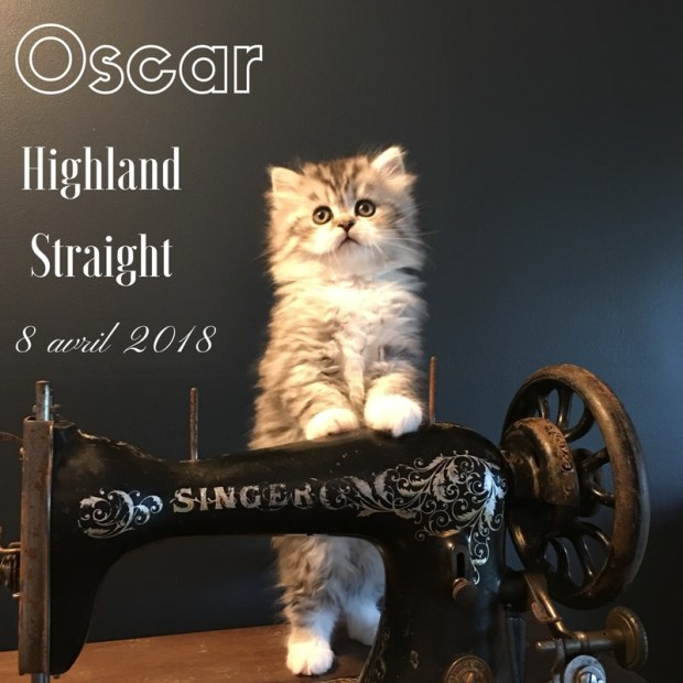 chaton highland straight oscar