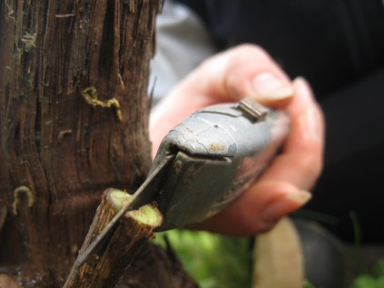 Cutting the old stem of the grapevine