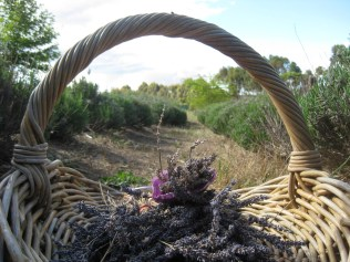 Lavender baskets in the rows