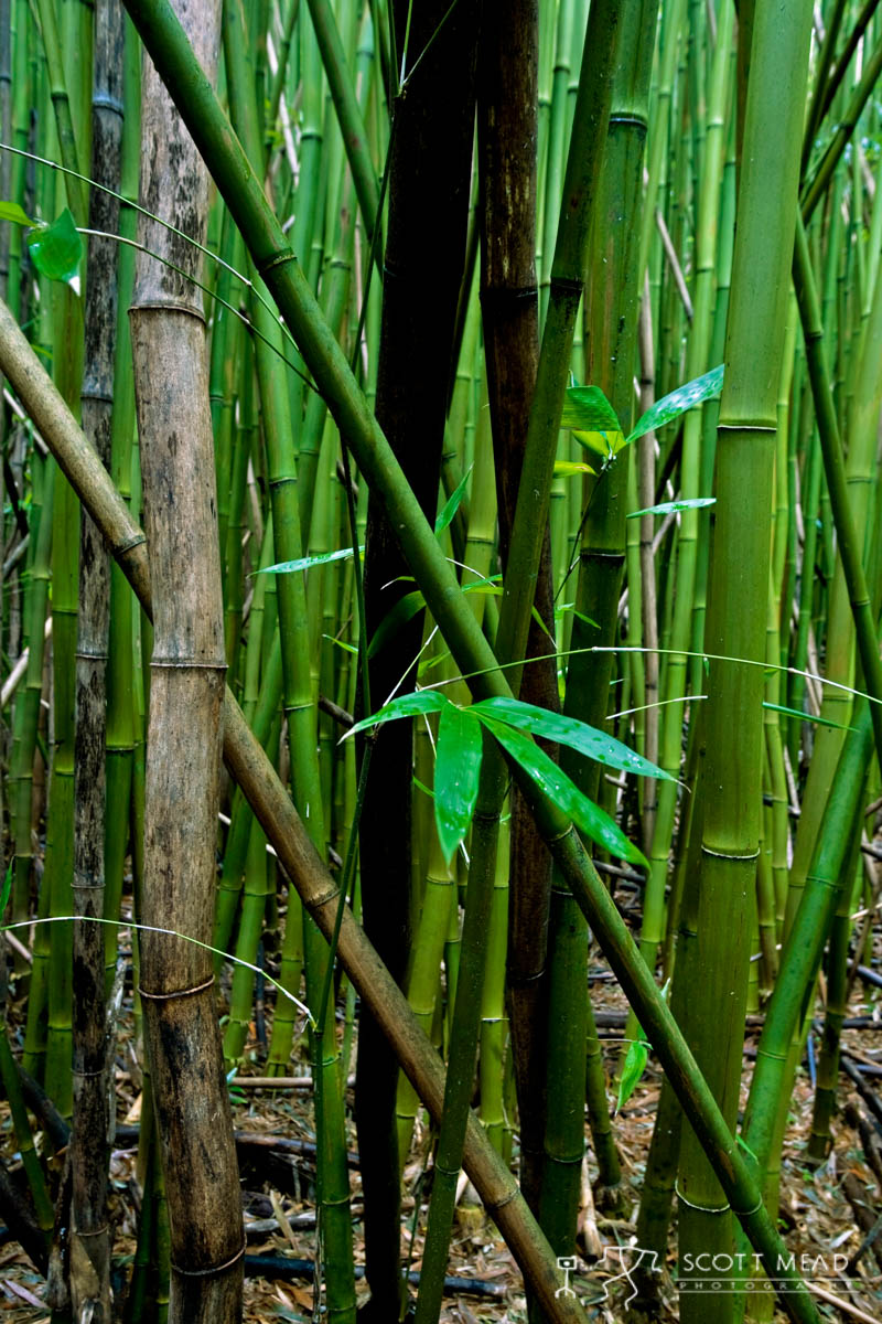 Bamboo Stand 1  Scott Mead Photography Inc
