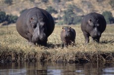 Family of huge, fat looking hippos