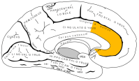 Gray727_anterior_cingulate_cortex