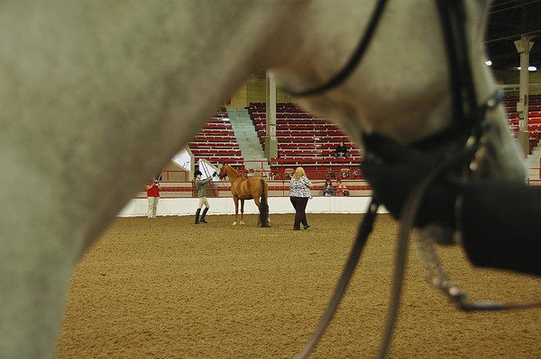 Arabian horse showmanship competition
