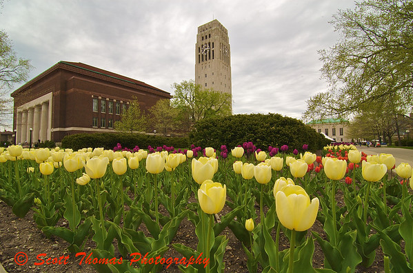 Tulips on the University of Michigan campus with Hill Auditorium and Burton Memorial Tower in the background.