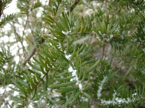 A snowy bush in our yard
