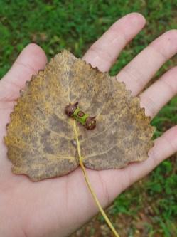 Saddleback Caterpillar