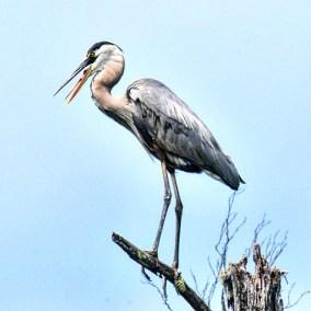 Blue grey heron