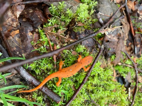 Juvenile Eastern (Red-Spotted) Newt