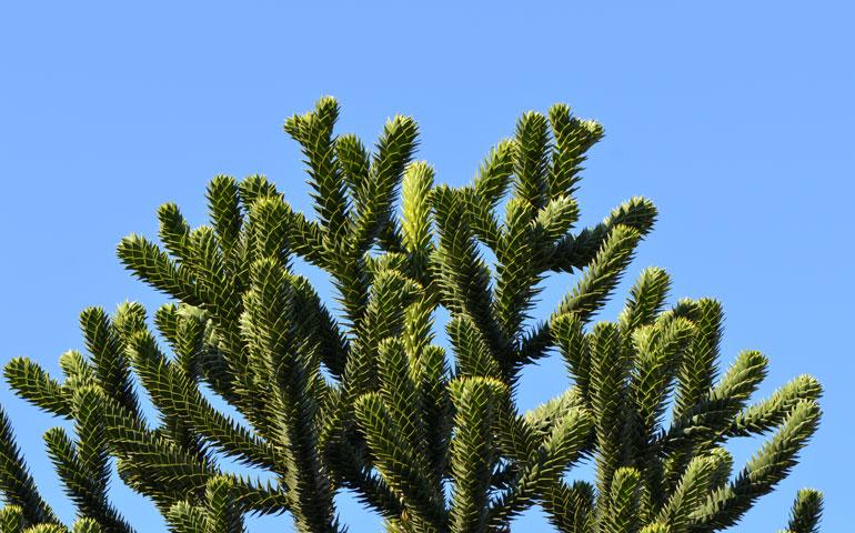 Araucaria_araucana_-_monkey-puzzle_tree_-_monkey_tail_tree_-_chilenische_Araukarie_01