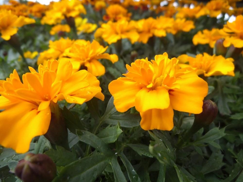 Spring -flower-power no 4: Marigold(Afrikaner- afrikaans!) (2/6)