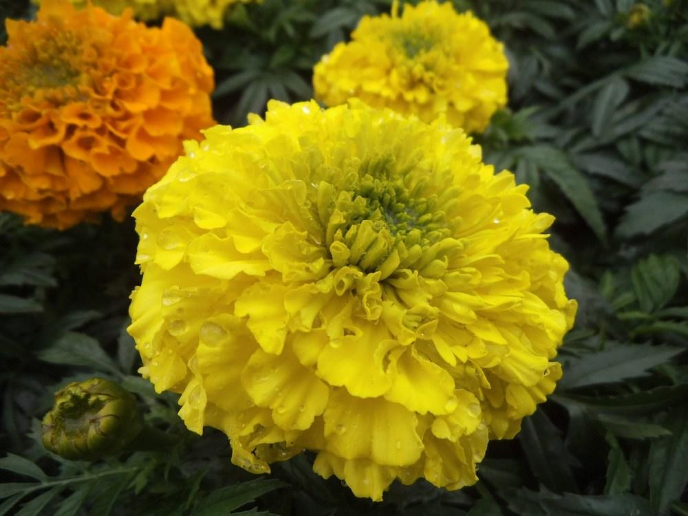 Spring -flower-power no 4: Marigold(Afrikaner- afrikaans!) (4/6)