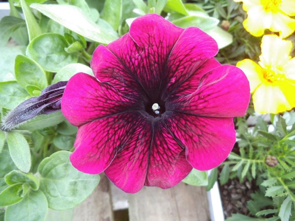 Spring -flower-power no 4: Marigold(Afrikaner- afrikaans!) (5/6)