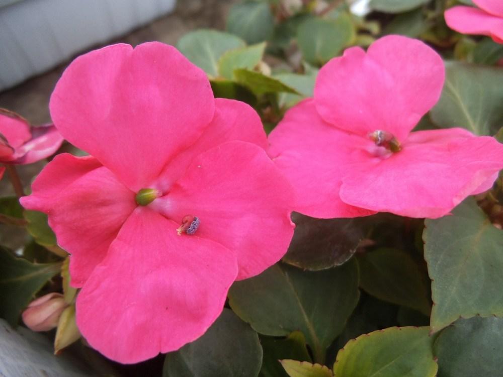 Spring -flower-power no 4: Marigold(Afrikaner- afrikaans!) (6/6)