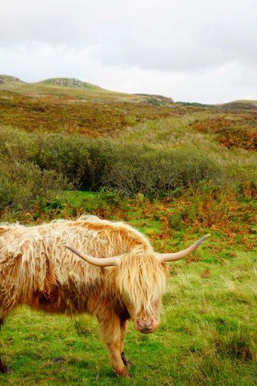 Schotse koe