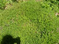 Thyme-Thymus vulgaris
