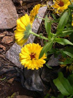 Calendula flowers keep on blooming