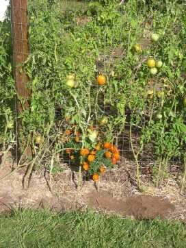 Volunteer marigolds. I'm saving the seeds of these beauties!