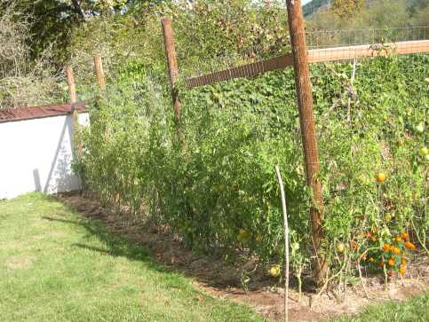 Some of my tomatoes grew over 10 feet tall using the fence as support.
