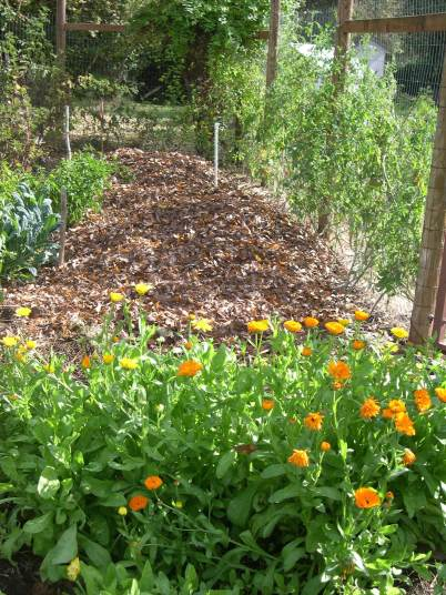 Leaves from our backyard provide cover for winter crops and much needed mulch for spring garden.