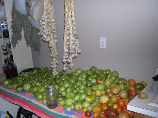 Green tomatoes in the process of ripening