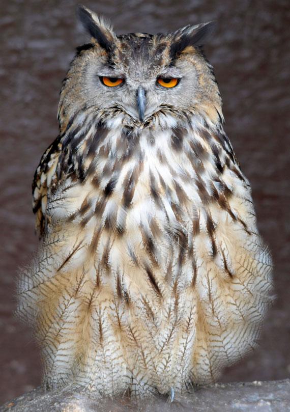 European Eagle Owl  Screech Owl Wildlife Park