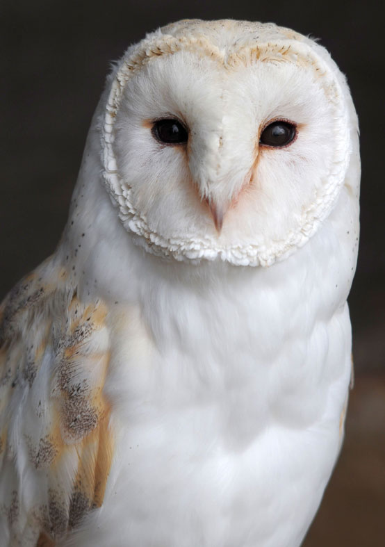 Barn Owl - Screech Owl Wildlife Park