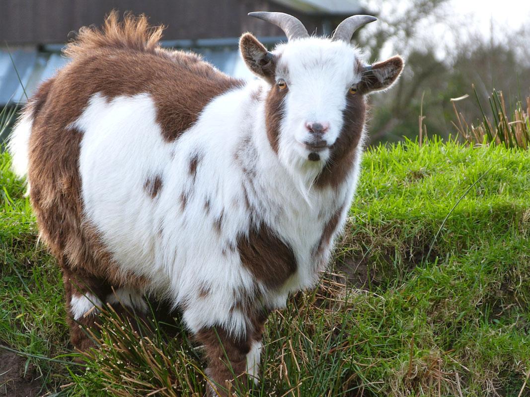 goats-casper