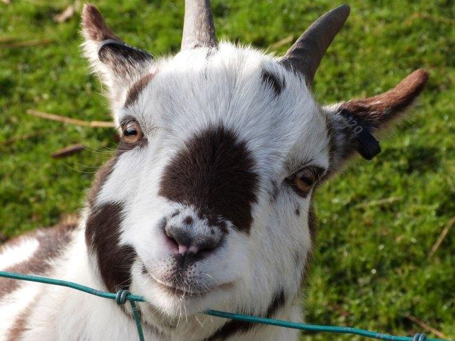 goats3