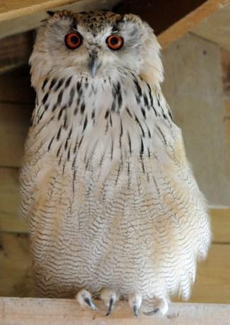 Western Siberian eagle owl (Bubo bubo sibiricus)