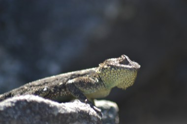 Lizard on Table Mountain
