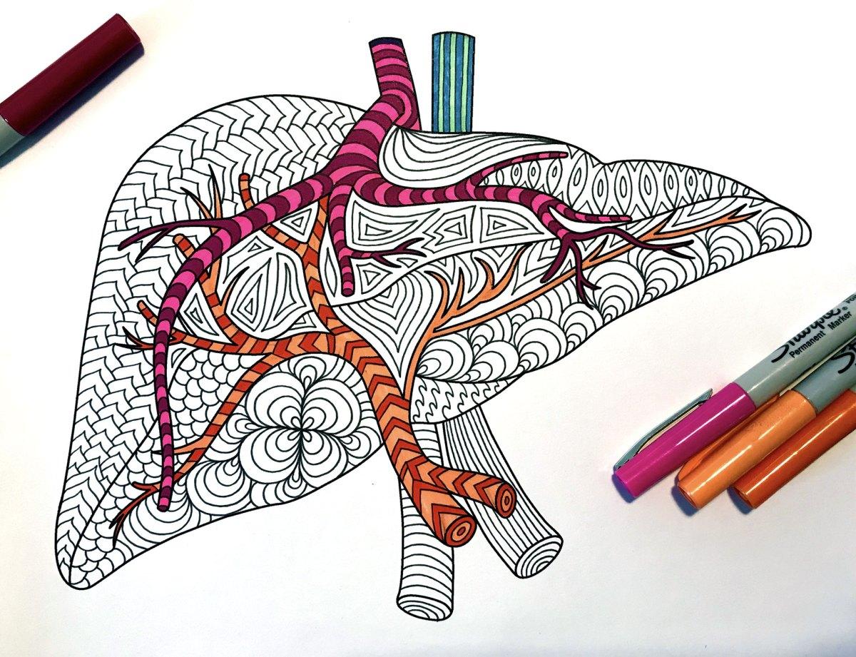 Liver - Human Anatomy - PDF Zentangle Coloring Page ...