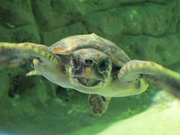 A turtle, part of their recovery programme.