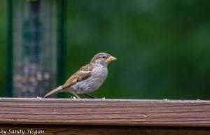 Fav Foto Friday House Sparrow