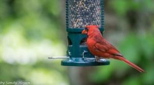 Fav Foto Friday Male Cardinal