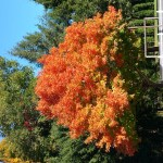 Fav Foto Friday Flaming Orange Maple Tree
