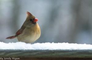 Female Cardinal Sittin Pretty in the snow