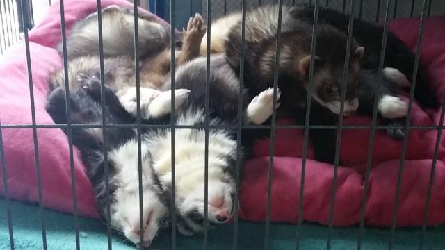 Silly Sleeping Ferrets