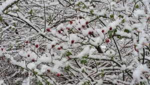 Little Red Buds Covered In Snow