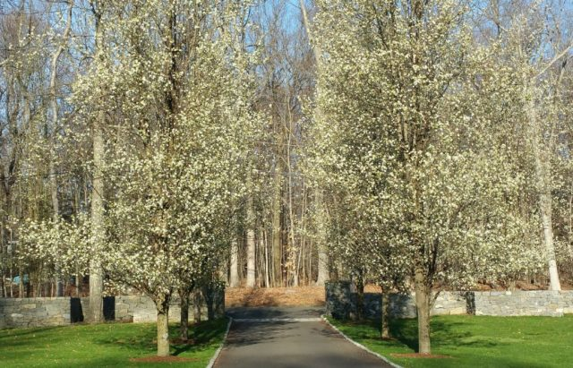 Blooming trees lining driveway