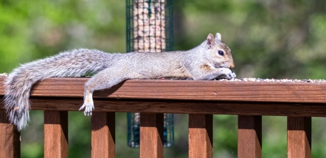Squirrel laying down on railing while snacking on bird seed