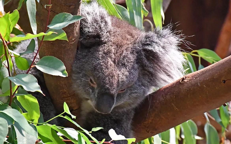 Ocean Park Hong Kong - Koala Bear