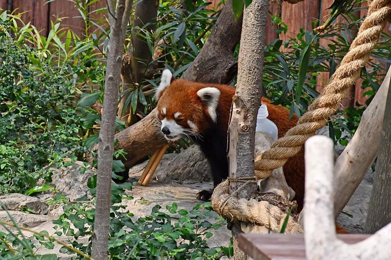 Ocean Park Hong Kong - Red Panda