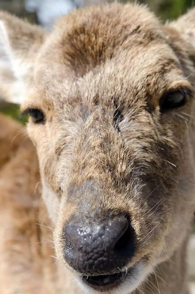 Yakuza deer close-up.