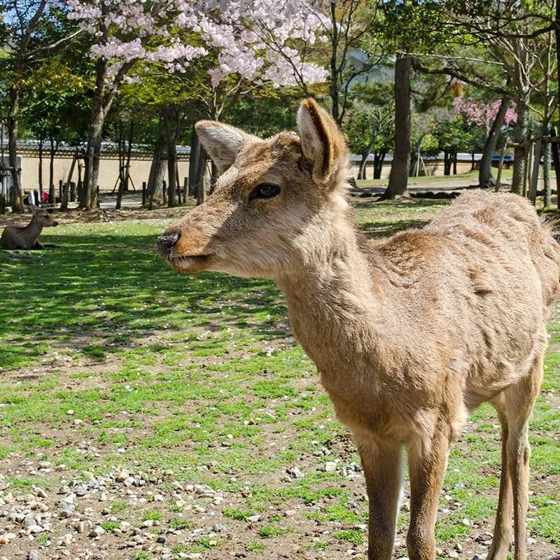 Nara Park Deer and Cherry Blossom.