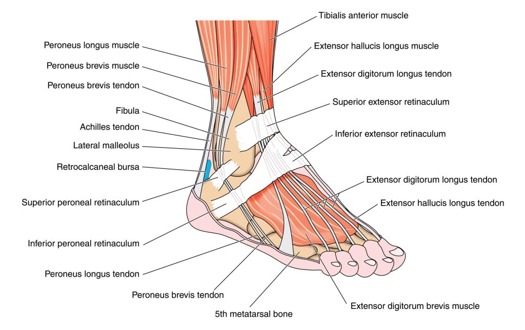 Foot and Ankle Transcription